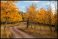 Gravel road through trees in autumn foliage, Medano Pass. Great Sand Dunes National Park and Preserve ( color)