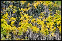 Hillside with aspen recently turned yellow. Great Sand Dunes National Park and Preserve ( color)
