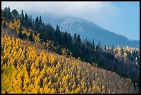 Aspen and firs on slope. Great Sand Dunes National Park and Preserve ( color)
