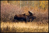 Bull moose in autumn. Grand Teton National Park, Wyoming, USA.
