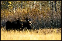 Bull moose out of forest in autumn. Grand Teton National Park, Wyoming, USA.