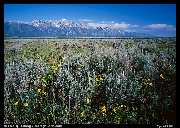 Flats with Arrowleaf balsam root and Teton range, morning. Grand Teton National Park, Wyoming, USA.