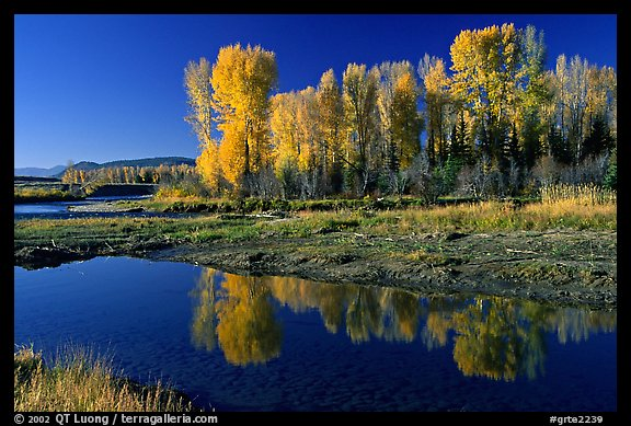 Aspen with autumn foliage, reflected in the Snake River. Grand Teton National Park (color)