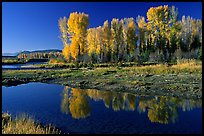 Aspen with autumn foliage, reflected in the Snake River. Grand Teton National Park, Wyoming, USA.
