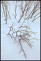 Bare shrub branches and snow. Grand Teton National Park, Wyoming, USA.