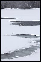 Trumpeter swans in partly thawed river. Grand Teton National Park, Wyoming, USA. (color)