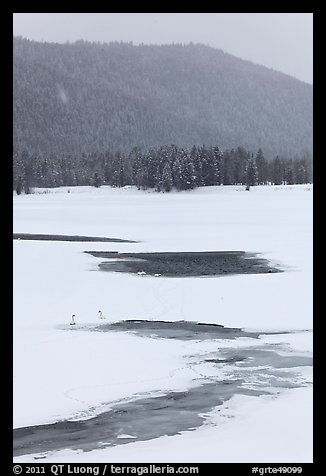 Winter landscape with  trumpeters swans. Grand Teton National Park, Wyoming, USA.