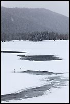 Winter landscape with  trumpeters swans. Grand Teton National Park, Wyoming, USA. (color)