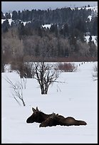 Sleepy moose in winter. Grand Teton National Park, Wyoming, USA. (color)