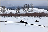 Fence and moose in winter. Grand Teton National Park, Wyoming, USA.