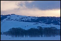 Cottonwoods and hills, winter sunrise. Grand Teton National Park, Wyoming, USA. (color)