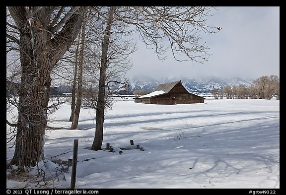 Cottonwoods and Moulton barn in winter. Grand Teton National Park, Wyoming, USA.