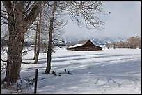 Cottonwoods and Moulton barn in winter. Grand Teton National Park, Wyoming, USA. (color)