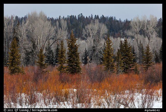 Colorful willows, evergreens, and cottonwoods in winter. Grand Teton National Park (color)