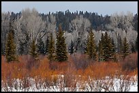 Colorful willows, evergreens, and cottonwoods in winter. Grand Teton National Park, Wyoming, USA.
