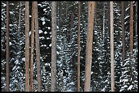 Pine tree trunks and snowy forest. Grand Teton National Park, Wyoming, USA.