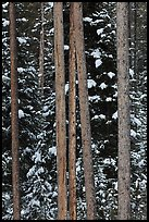 Trunks and evergreen in winter. Grand Teton National Park, Wyoming, USA.