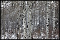 Aspen forest in winter. Grand Teton National Park, Wyoming, USA.