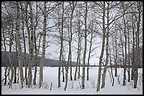 Aspen grove, Willow Flats, winter. Grand Teton National Park, Wyoming, USA.