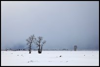 Bare cottonwood trees and storm sky in winter, Jackson Hole. Grand Teton National Park, Wyoming, USA. (color)