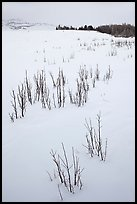 Shrubs in white landscape. Grand Teton National Park, Wyoming, USA.