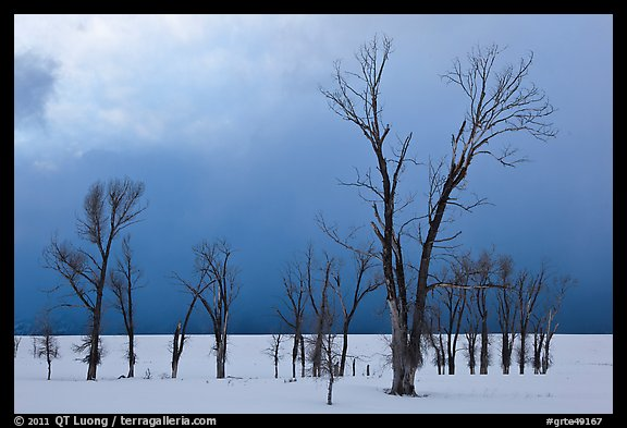 Bare Cottonwoods and dark sky in winter. Grand Teton National Park, Wyoming, USA.