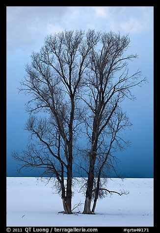 Bare cottonwood trees, snow and sky. Grand Teton National Park (color)