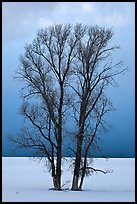 Bare cottonwood trees, snow and sky. Grand Teton National Park, Wyoming, USA.