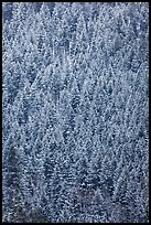 Dense snowy conifer forest. Grand Teton National Park, Wyoming, USA.