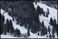 Conifers on hillside in winter. Grand Teton National Park, Wyoming, USA.