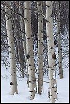 Aspen trunks in winter. Grand Teton National Park, Wyoming, USA. (color)