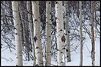 Trunks of aspen trees in winter. Grand Teton National Park, Wyoming, USA.