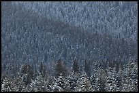 Snowy forest on mountainside. Grand Teton National Park, Wyoming, USA. (color)