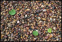 Close-up of colorful pebbles and fallen aspen leaves, Jackson Lake. Grand Teton National Park ( color)