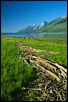 Debris marking high water limit for Jackson Lake, morning. Grand Teton National Park, Wyoming, USA.