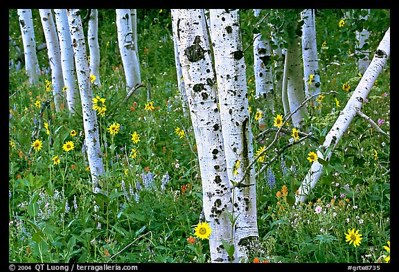 Sunflowers, lupines and aspens. Grand Teton National Park (color)