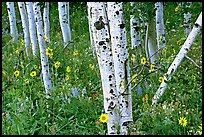 Sunflowers, lupines and aspens. Grand Teton National Park, Wyoming, USA. (color)