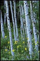 Sunflowers, lupines and aspen forest. Grand Teton National Park, Wyoming, USA. (color)