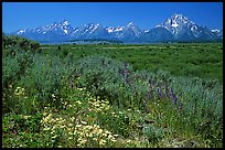Wildflowers and Teton range, morning. Grand Teton National Park, Wyoming, USA.