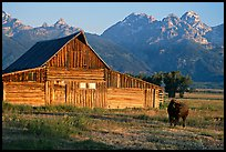 Bison in front of barn, with Grand Teton in the background, sunrise. Grand Teton National Park, Wyoming, USA.