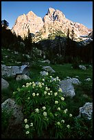 Columbine and Tetons, evening. Grand Teton National Park, Wyoming, USA.