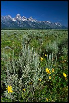 Arrowleaf balsam root and Teton range, morning. Grand Teton National Park, Wyoming, USA.