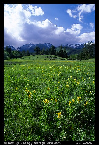 Yellow summer flowers in Horseshoe park. Rocky Mountain National Park (color)