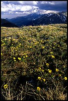 Alpine flowers on the tundra along Trail Ridge road. Rocky Mountain National Park, Colorado, USA. (color)