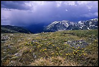 Alpine wildflowers and summer storm along Trail Ridge road. Rocky Mountain National Park ( color)