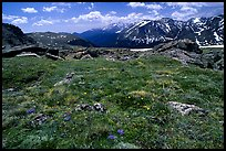 Alpine flowers on  tundra along Trail Ridge road. Rocky Mountain National Park, Colorado, USA.