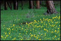 Flowers and tree trunks. Rocky Mountain National Park ( color)