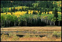 Yellow aspens and conifers Horseshoe park. Rocky Mountain National Park, Colorado, USA. (color)