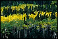 Aspens mixed with  conifers. Rocky Mountain National Park, Colorado, USA.