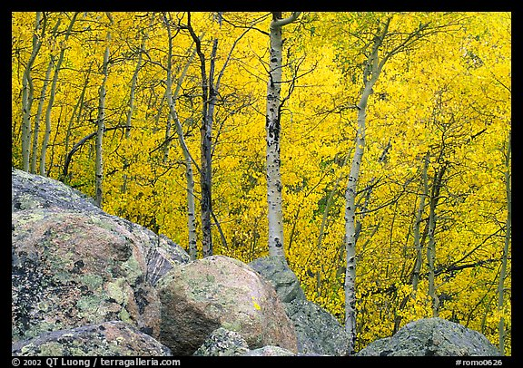 Aspens in autumn foliage and boulders. Rocky Mountain National Park (color)